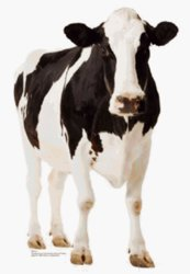 Cow Life-Size Standup Poster